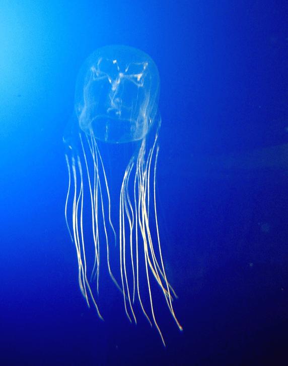 avispa de mar