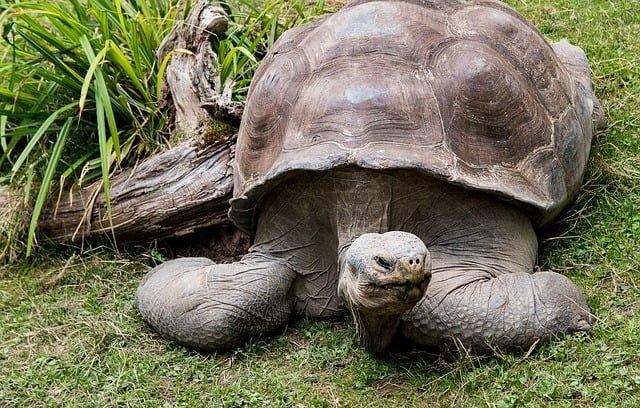 tortuga gigante descripción