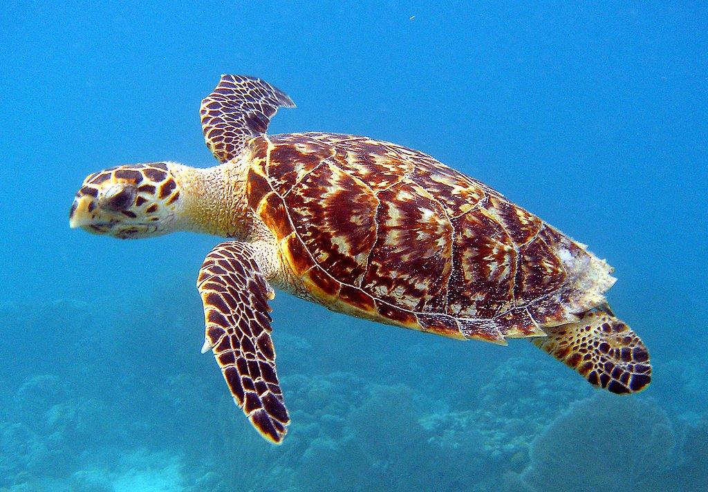 tortuga carey en peligro
