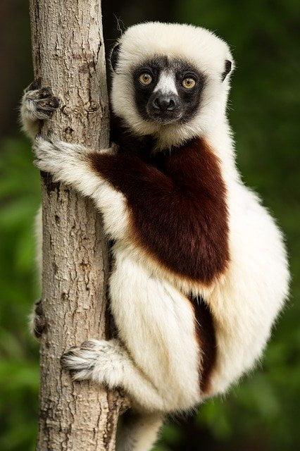 dónde viven los lemures