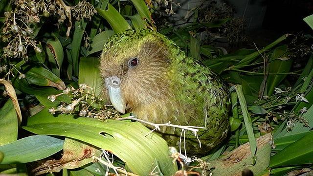 cómo es el kakapo