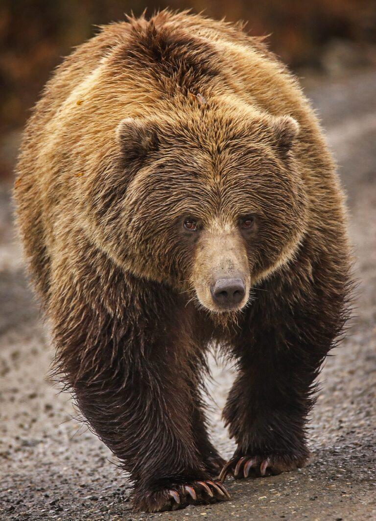 descripción oso pardo gris