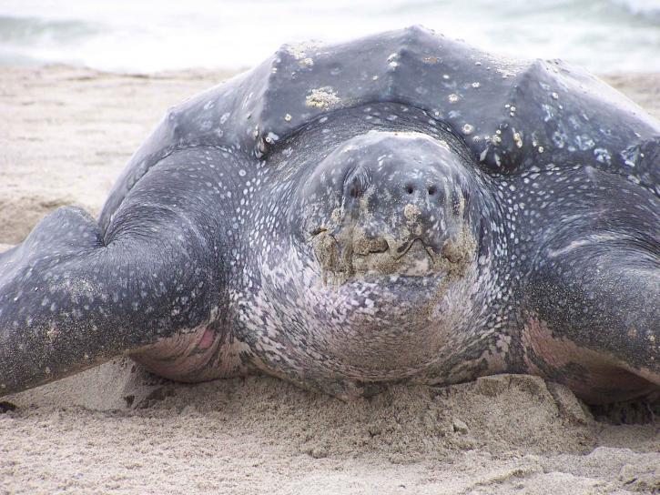 información actualizada sobre la tortuga laúd