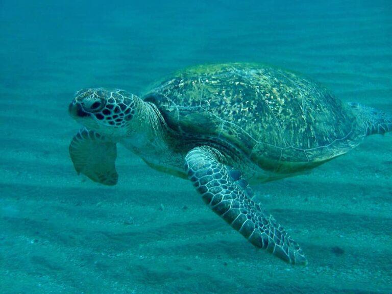 cómo es la tortuga verde