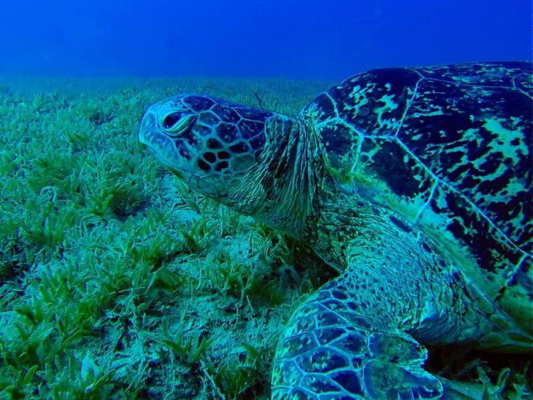 tortuga verde en peligro