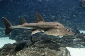 tiburón raya