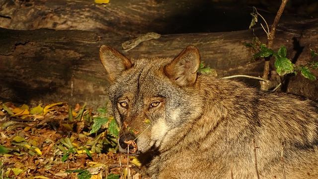 lobo ibérico en peligro de extinción