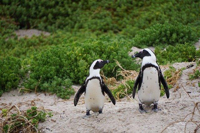 pingüinos al borde de la extinción