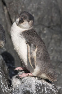 pingüino azul de aletas blancas