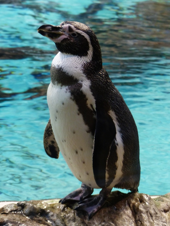 pingúino de humboldt