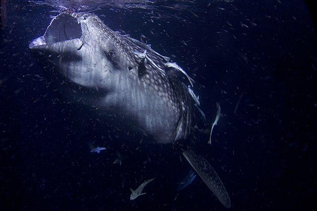 tiburón ballena en peligro de extinción