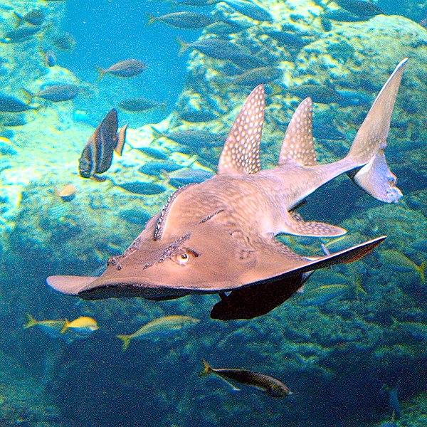 tiburón raya en peligro de extinción