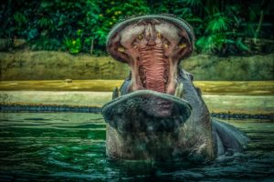 hipopótamo en peligro
