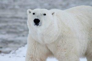 oso polar en peligro